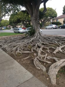 Culver City Tree